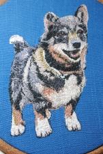 Hampus the Swedish Vallhund