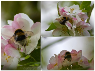 bees on the apple blossom