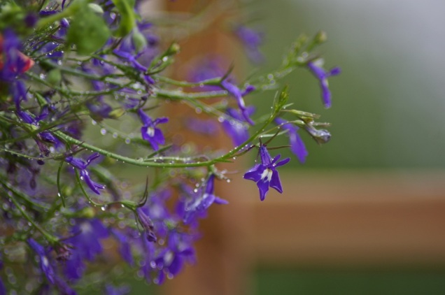 lovely lobelia