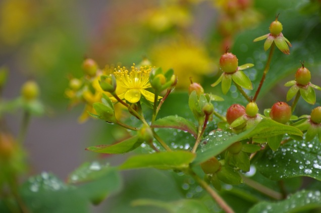 raindrops on the yellow flowering shrub whose name I always forget