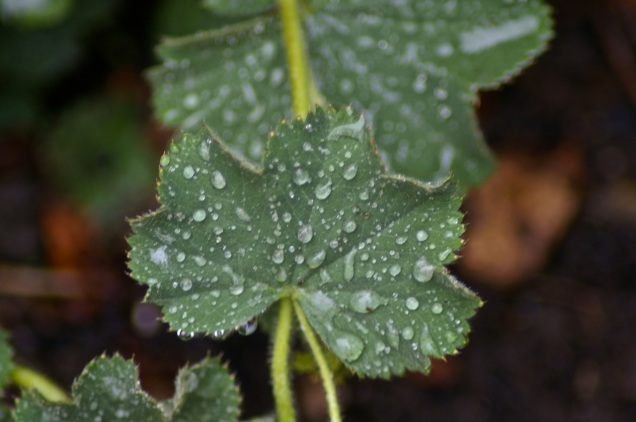 raindrops on the alchemilla mollis