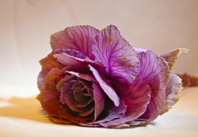 ornamental cabbage aging gracefully