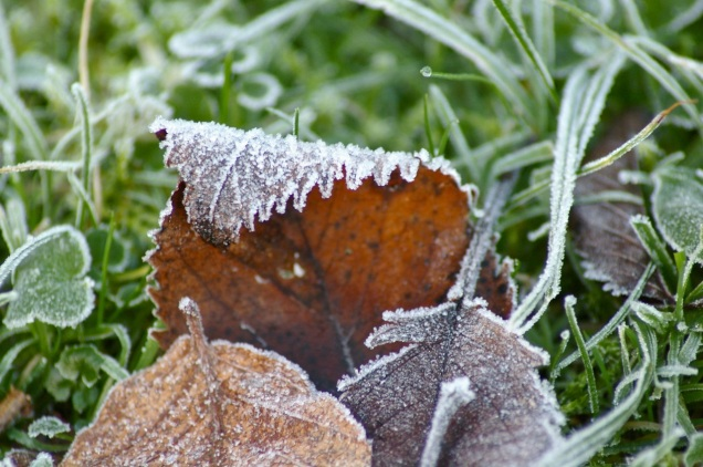 frosty leaf detail