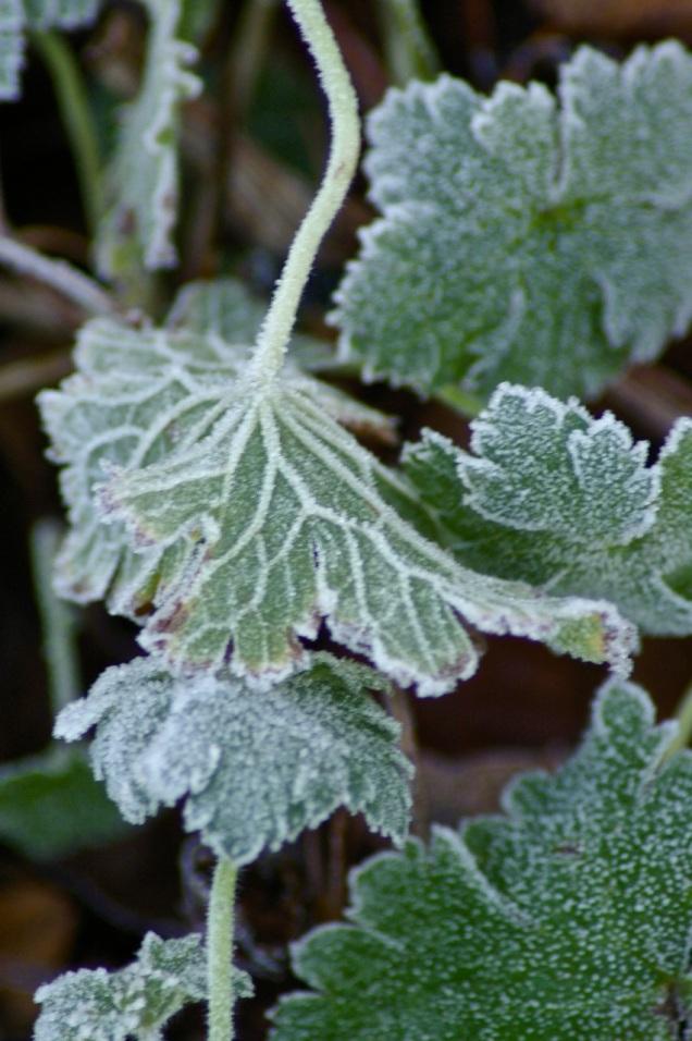 geranium veins