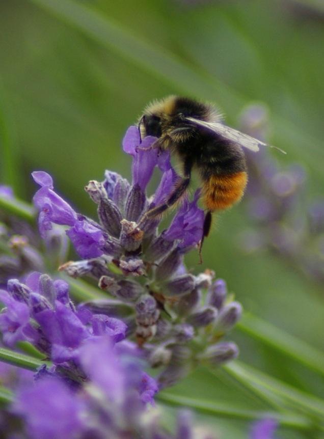 bee1 fullsize